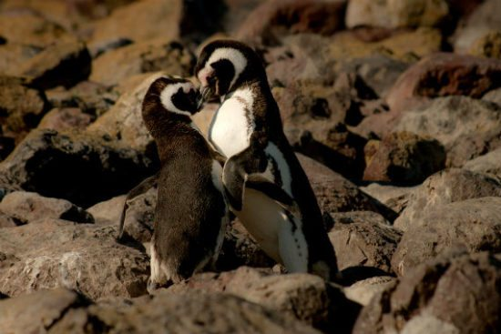 what is a healthy relationship two penguins touching beaks